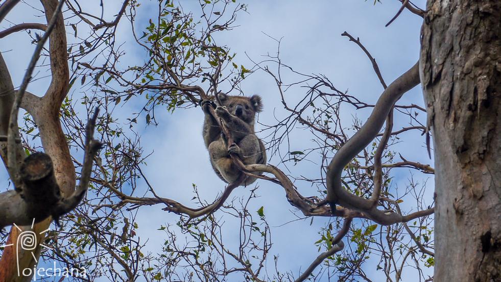 koale na wolności w Otway National Park
