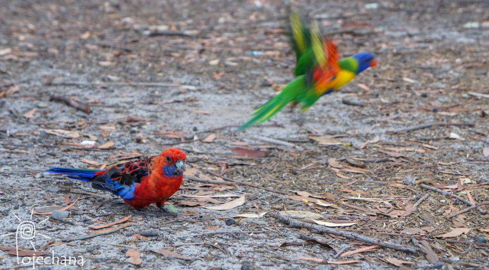 papużki tęczowe