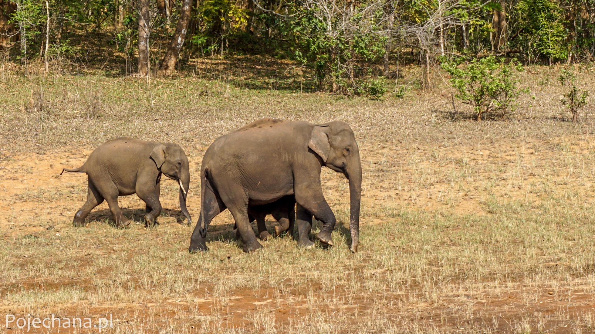 słonie w Indiach